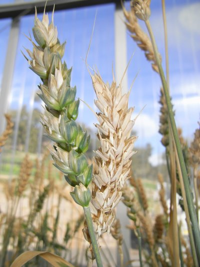 Wheat growing in The Plant Accelerator