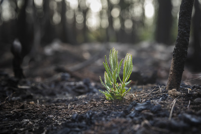 Close up of a seedling sprouting in fire-blackened soil