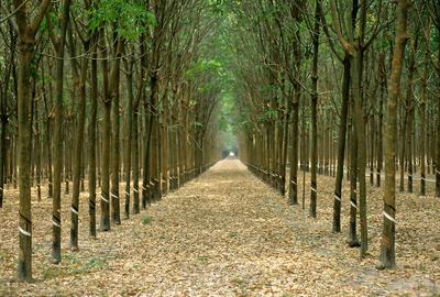 A rubber tree plantation in Vietnam.